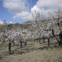 桜によく似ているアーモンド